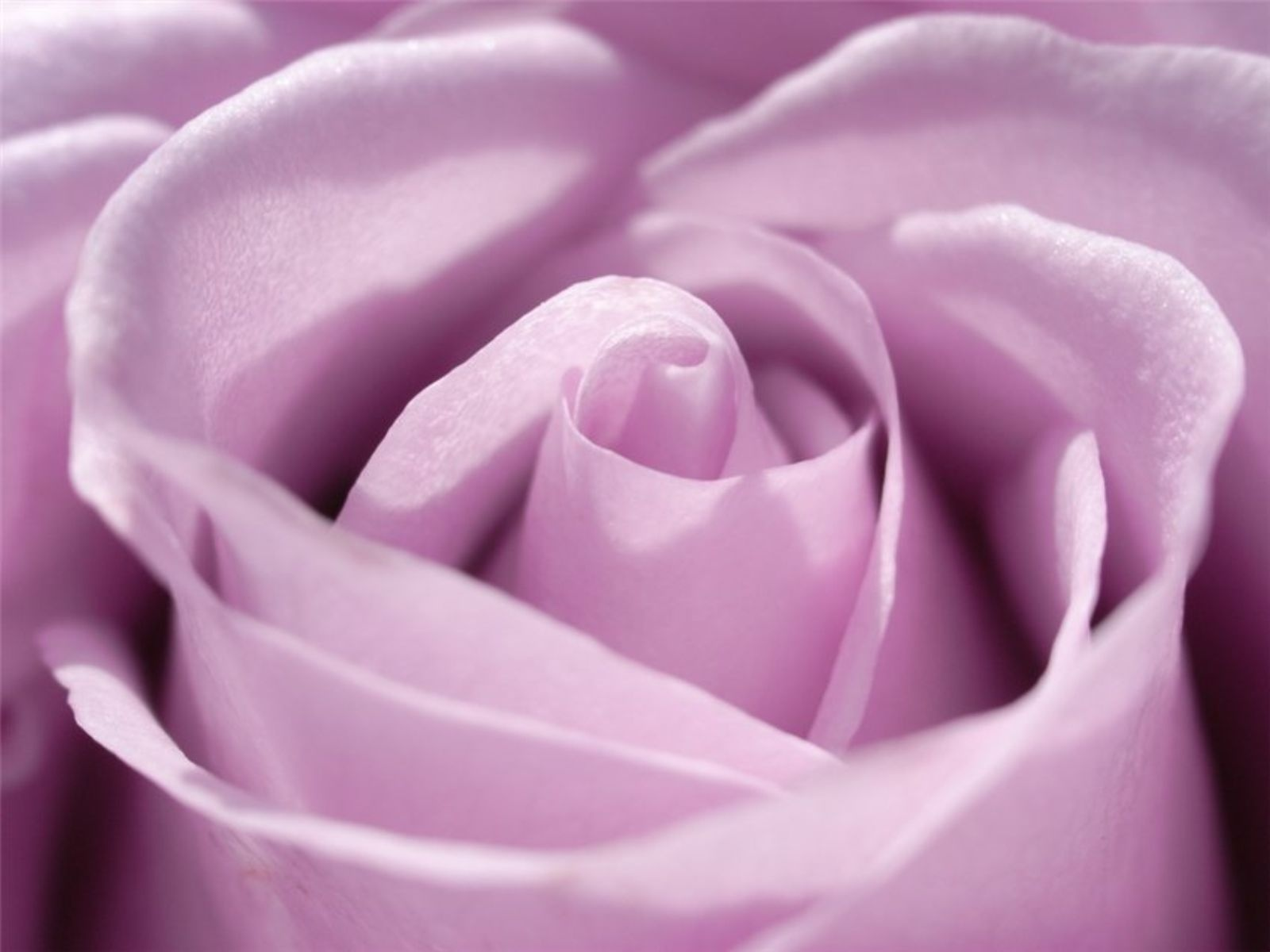 Roses Images Magnificent Purple Roses Hd Wallpaper And Background