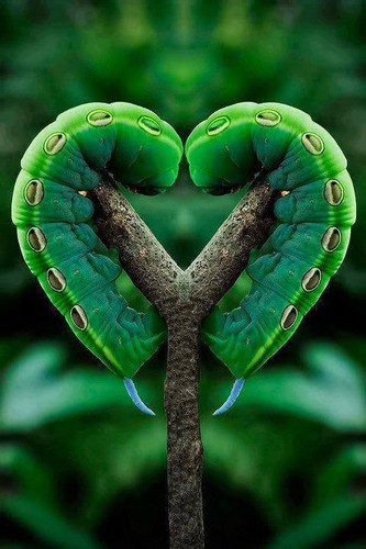 immagini bellissime wallpaper entitled falena bruco, caterpillar Amore :)