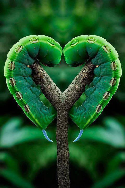 traça, mariposa lagarta, caterpillar amor :)