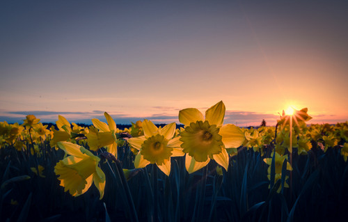 jeruk, orange Daffodil
