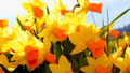 Orange Daffodil - flowers photo