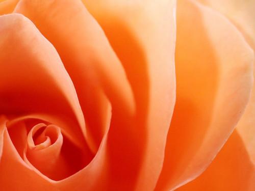 橙子, 橙色 玫瑰