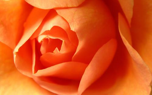 주황색, 오렌지 장미