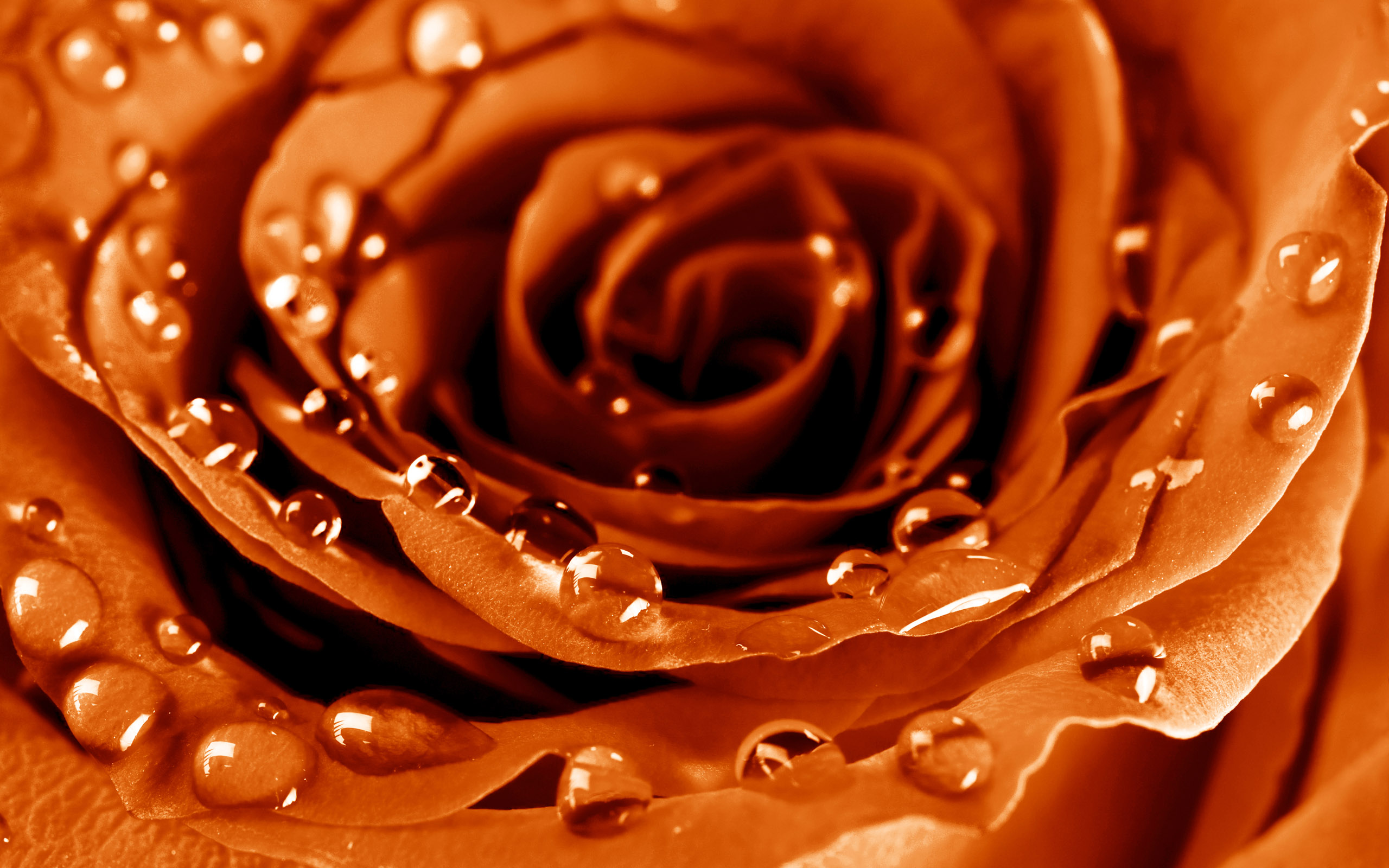 Flowers Orange RosesOrange Roses Wallpaper