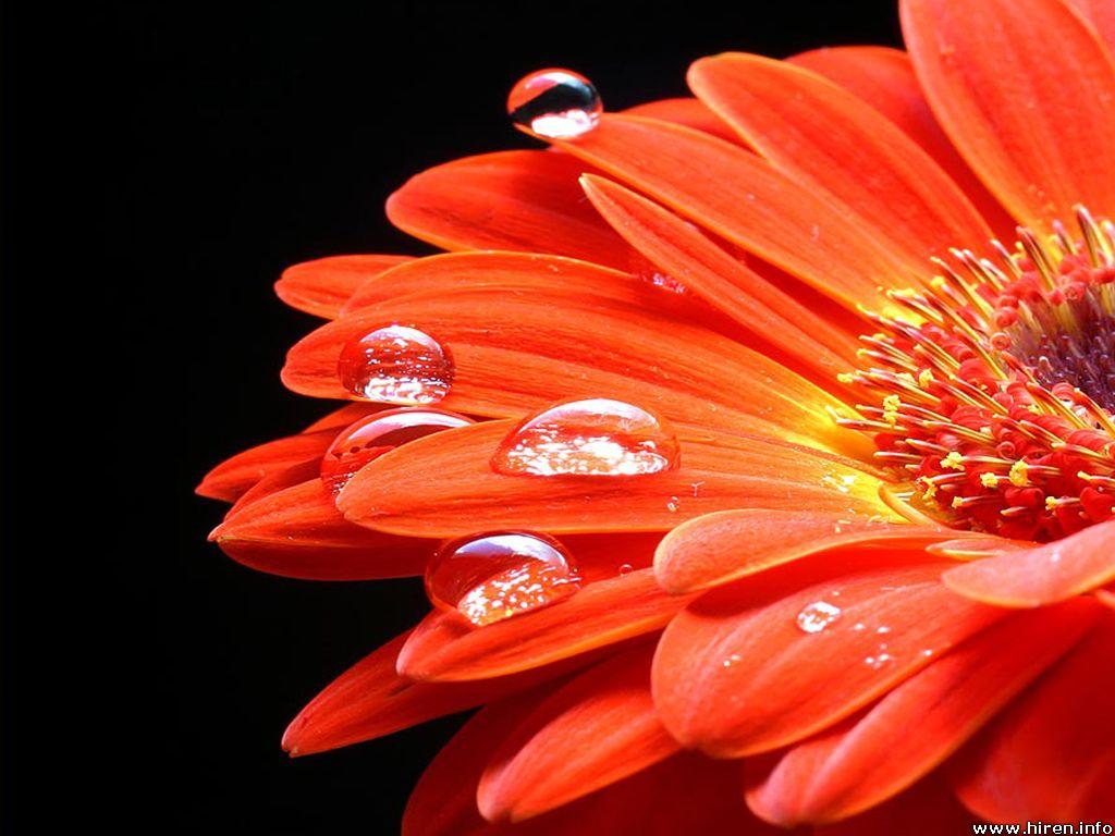 arancia, arancio Sunflower