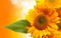 Orange Sunflower - flowers wallpaper