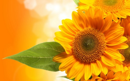 Flowers wallpaper with a sunflower, a common sunflower, and a black eyed susan called Orange Sunflower