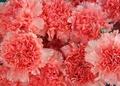 розовый Carnation