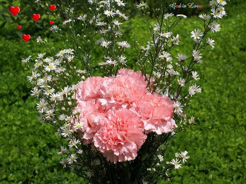 गुलाबी Carnation