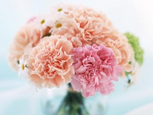 berwarna merah muda, merah muda Carnation