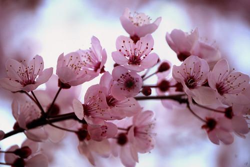 merah jambu ceri, cherry Blossom