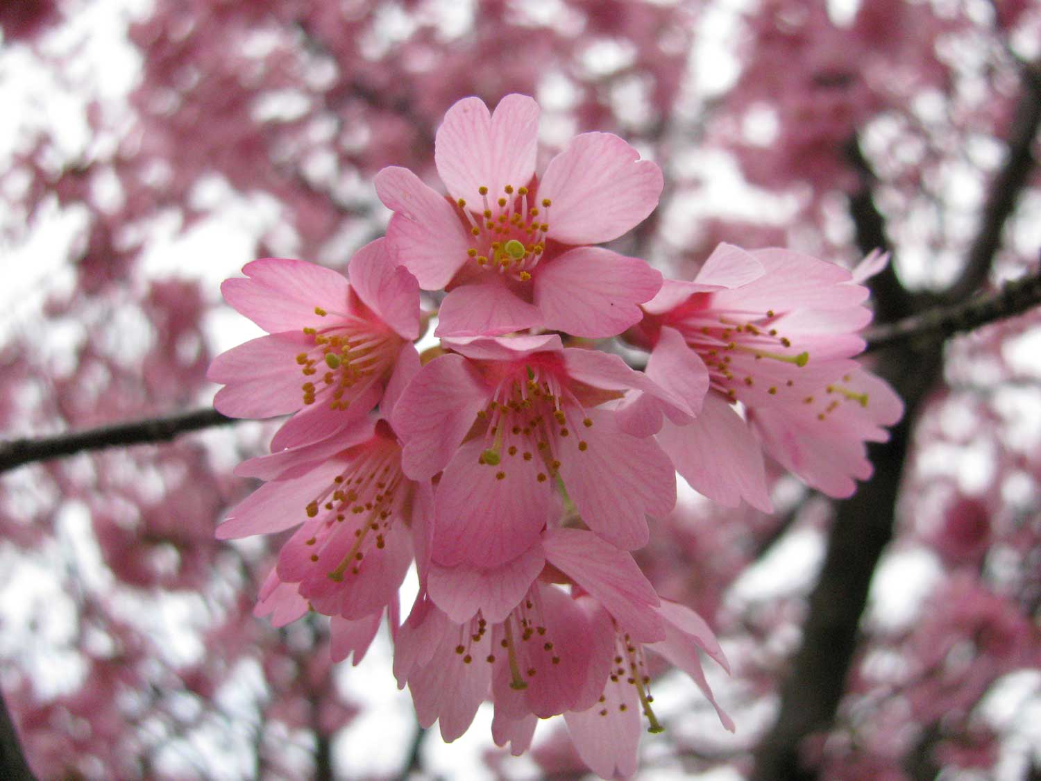 Flowers Images Pink Cherry Blossom Hd Wallpaper And