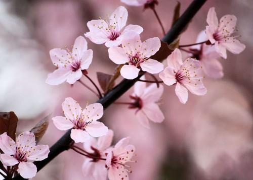 kulay-rosas seresa Blossom