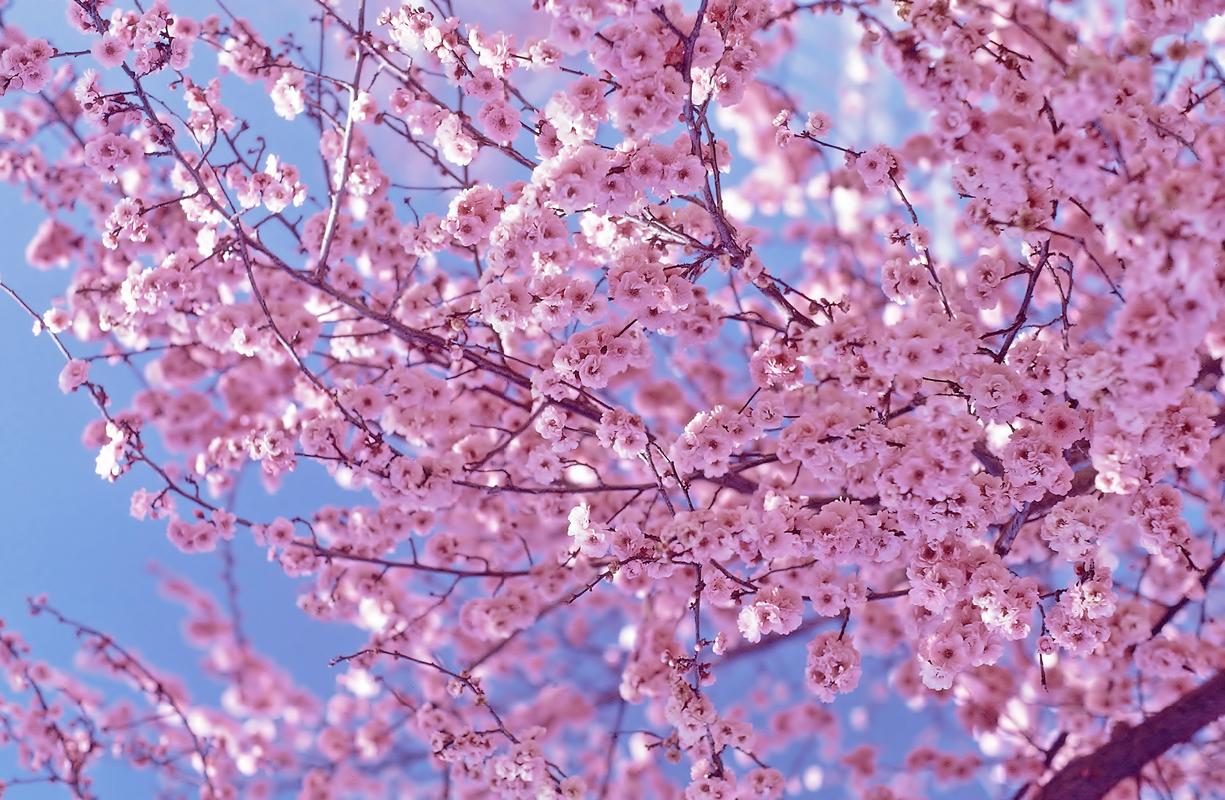 Pink Cherry Blossom Flowers Fanpop