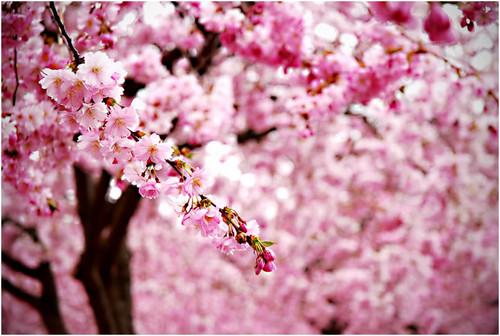 粉, 粉色 樱桃 Blossom