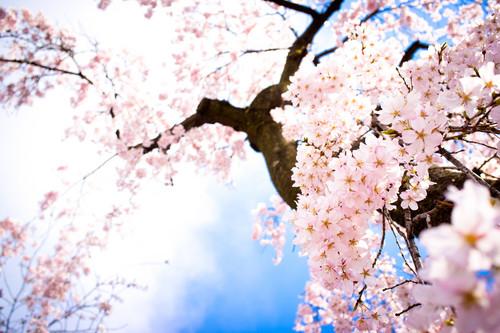 rosado, rosa cereza, cerezo Blossom