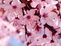 rosa kirsche Blossom