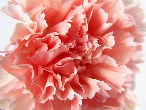Pretty 담홍색, 핑크 Carnation