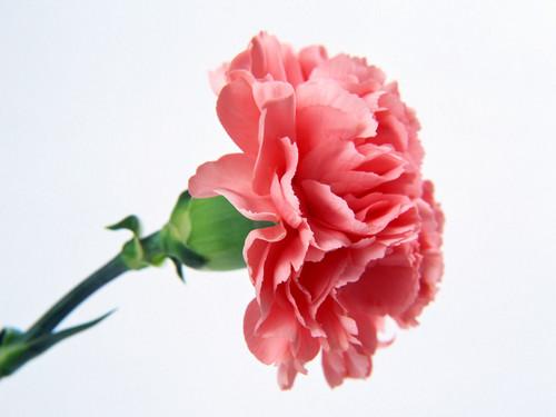 Pretty merah jambu Carnation