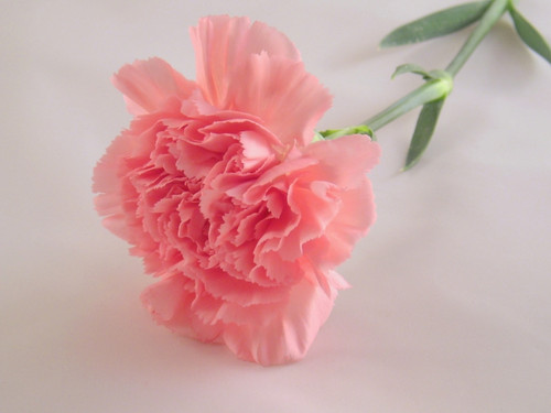 Pretty màu hồng, hồng Carnation