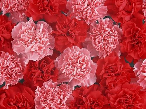Pretty rosa Carnation