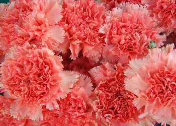 Pretty rose Carnation
