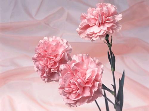 Pretty गुलाबी Carnation