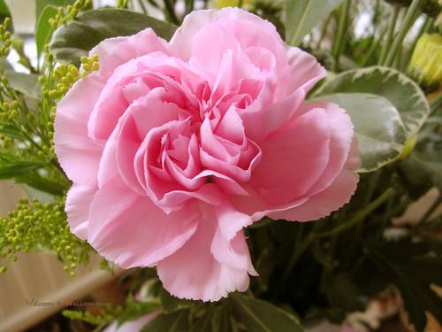 Pretty گلابی Carnation