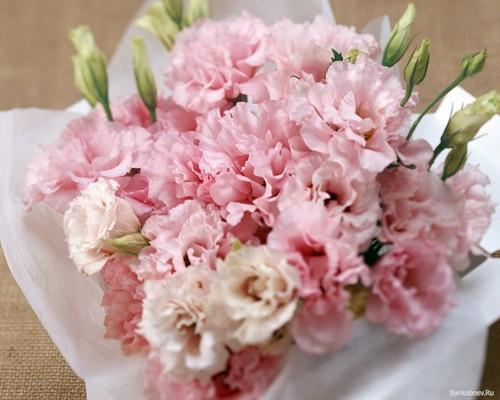 Pretty Pink Carnation