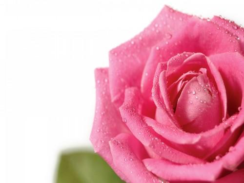 Pretty màu hồng, hồng hoa hồng