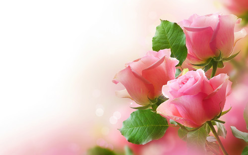 Pink rose flower wallpaper background