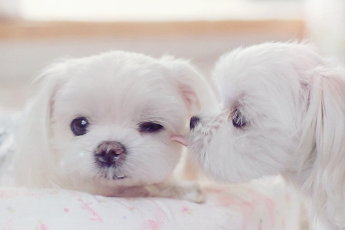 Dogs wallpaper containing a maltese dog called Puppies