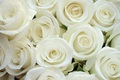 Pure White Roses - roses photo
