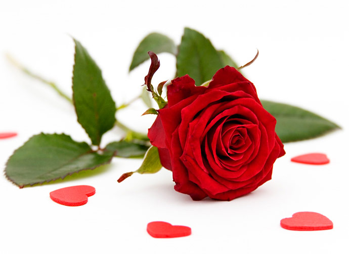 Flowers images Red Roses wallpaper and background photos