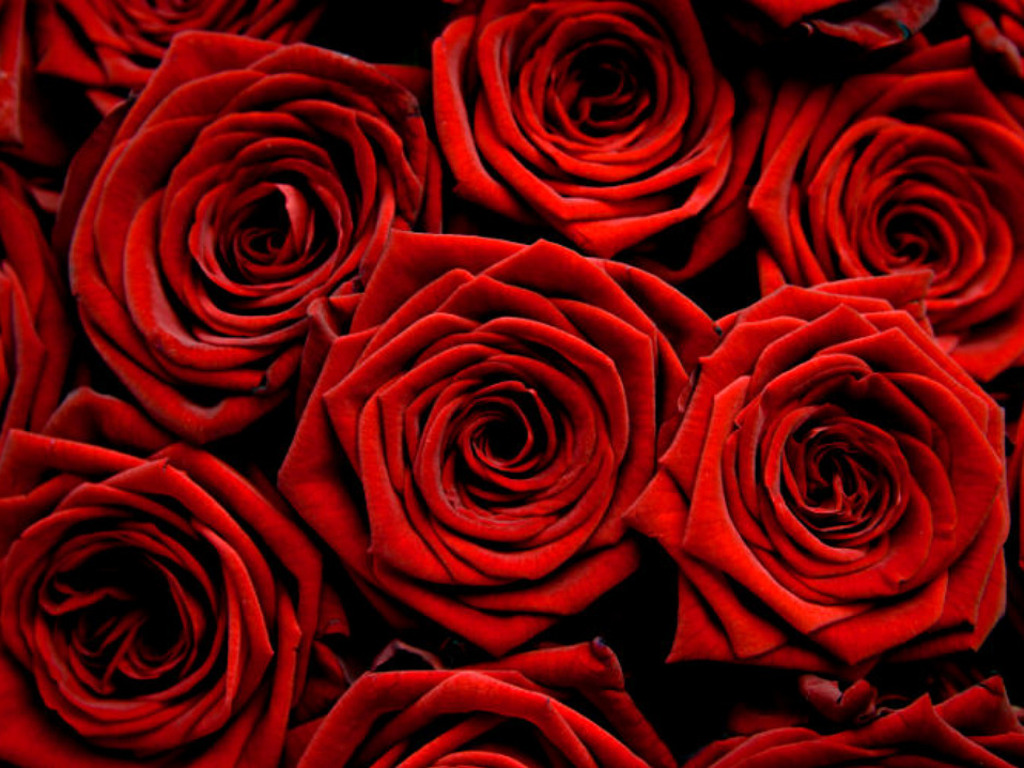 flowers images red roses hd wallpaper and background photos (34611317)
