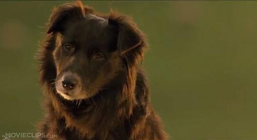 Rex the male sheepdog