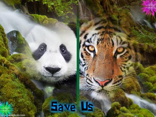 Tiger and Panda foto Collage