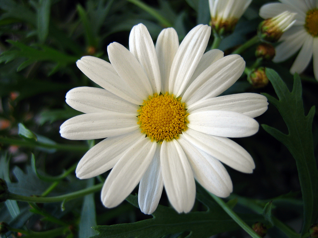 White Daisy Wallpaper