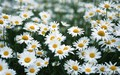 White Daisy Wallpaper - colors wallpaper