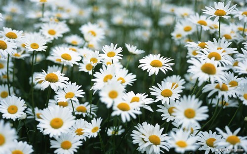 Colors wallpaper with a common daisy, a daisy, and a blue eyed african daisy entitled White Daisy Wallpaper