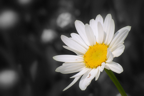 White marguerite, daisy fond d'écran