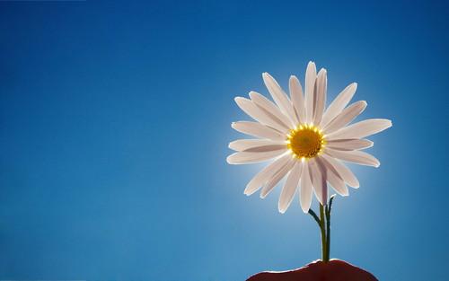 White giống cúc, daisy hình nền