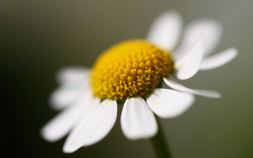 White Daisy Wallpaper