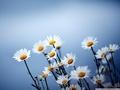 Скачать картинки Обои,лето,ромашки,фон,цветы,виноградник,поляна,растения,трава для рабочего стола.