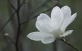 White Magnolia Wallpaper - colors wallpaper