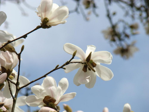 White Magnolia Wallpaper