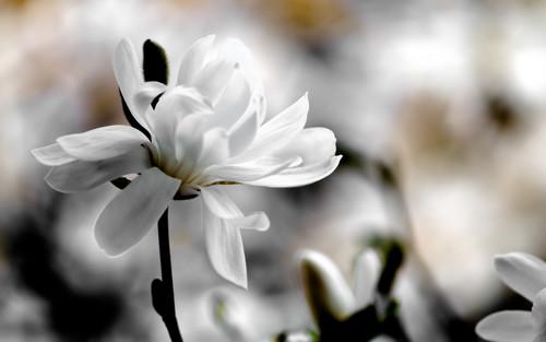 White Magnolia Wallpaper