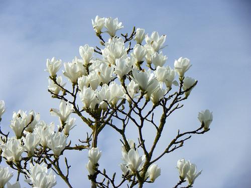 White magnolia fondo de pantalla