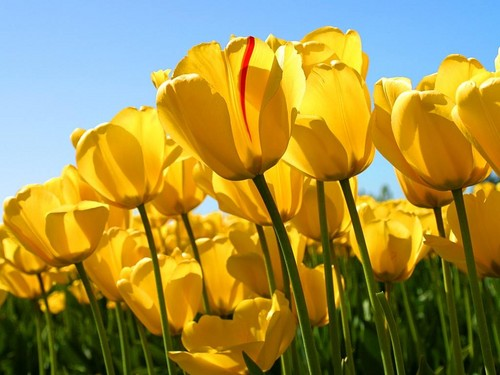 Flowers wallpaper with a buttercup, a western buttercup, and a spurge called Yellow Tulip