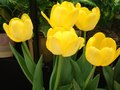 Yellow tulipan